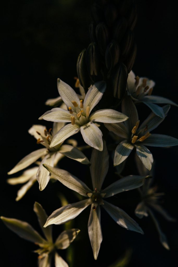 macro photograph of Asphodel (Asphodelus) in Algarve