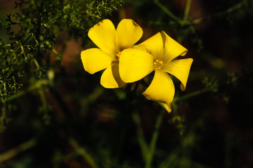 macro photograph of Bermuda-buttercup (Oxalis pes-caprae)   in Algarve