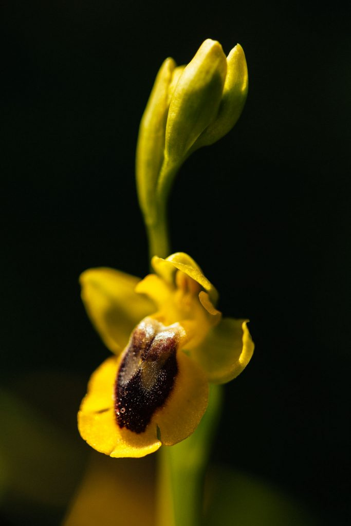 Macro photograph of Yellow Bee Orchid Ophrys lutea Algarve