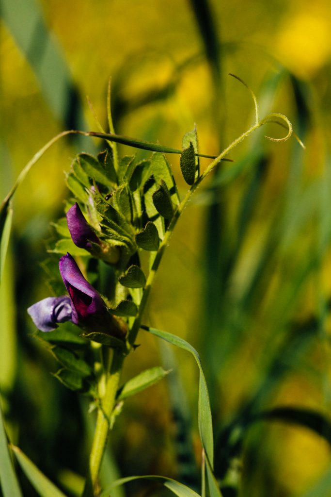 Macro photography of Lathyrus clymenum Algarve
